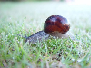 800px-Snail_in_dewey_grass_carramar