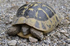 turtle-416914_640